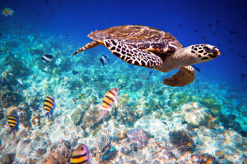 Hawksbill Turtle - Eretmochelys imbricata. Floats under water. Maldives - Ocean coral reef. Warning - authentic shooting underwater in challenging conditions. A stock images