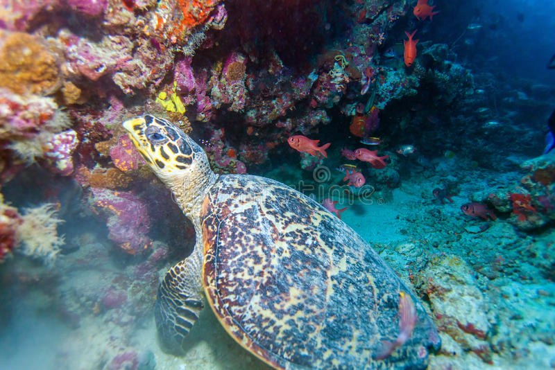The Hawksbill Turtle (Eretmochelys imbricata) near Corals. Maldives royalty free stock photos
