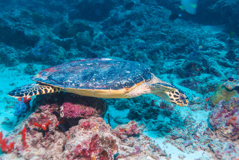 The Hawksbill Turtle (Eretmochelys imbricata) near Corals royalty free stock photography