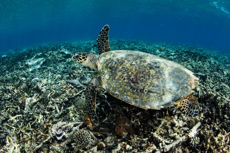 Hawksbill Turtle in Raja Ampat. An endangered Hawksbill turtle swims over the seafloor in Raja Ampat, Indonesia. This remote region is known for its spectacular royalty free stock image