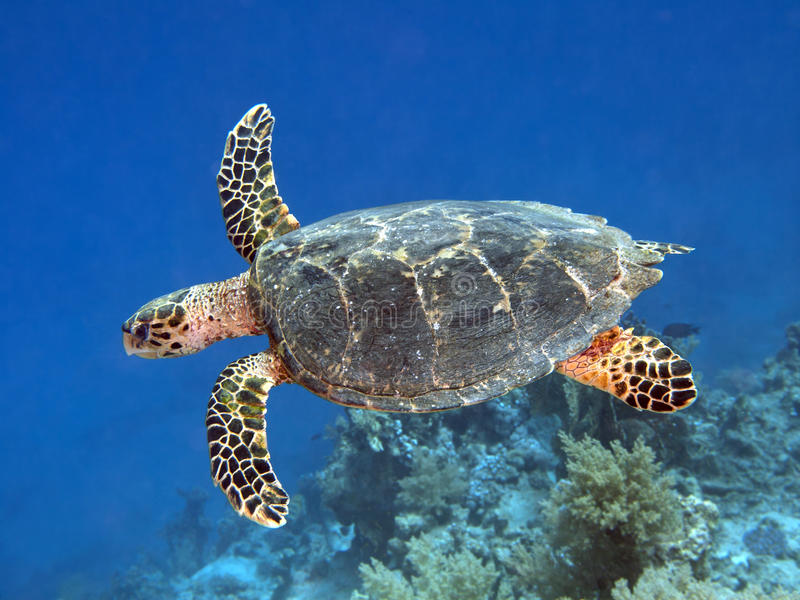 Hawksbill turtle royalty free stock photo