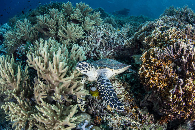 Hawksbill Turtle on Reef royalty free stock image