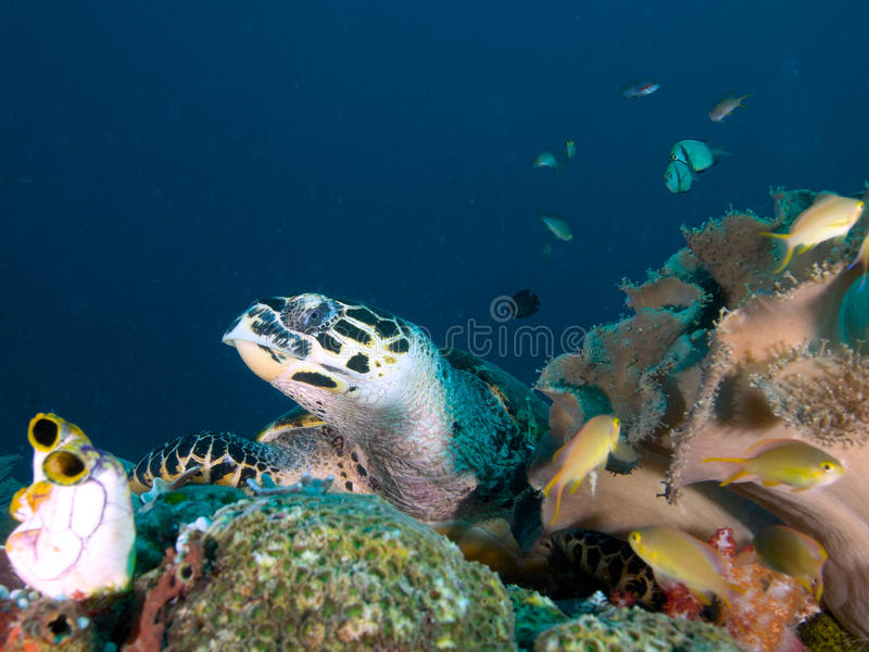 Hawksbill turtle resting on coral reef in Raja Ampat, Indonesia. Hawksbill turtle resting amongst tunicates and soft corals on a reef in Raja Ampat, Wonderful stock photos