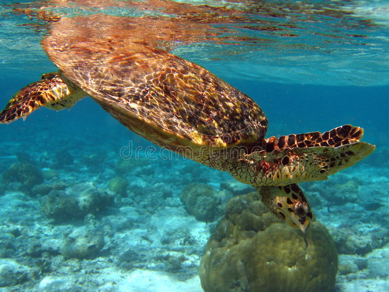 Hawksbill Turtle in the sea stock image