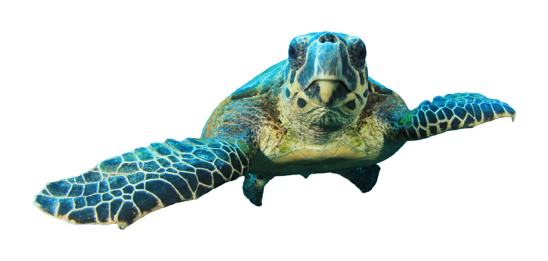 Hawksbill Turtle on white