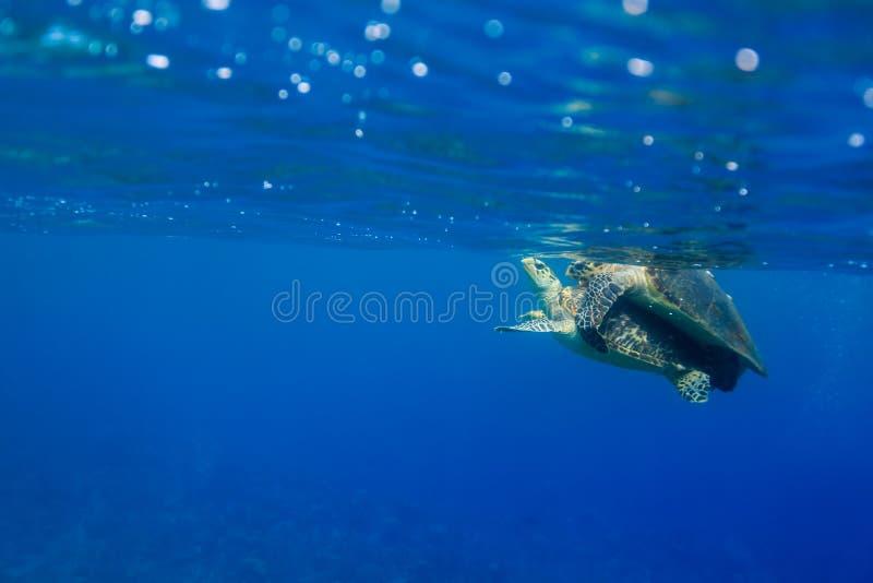 Hawksbill turtles Eretmochelys imbricata mating in the ocean. Hawksbill turtles Eretmochelys imbricata mating on surface of the ocean royalty free stock image