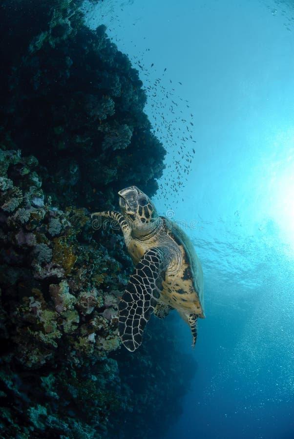 hawksbillhavssköldpadda royaltyfri fotografi