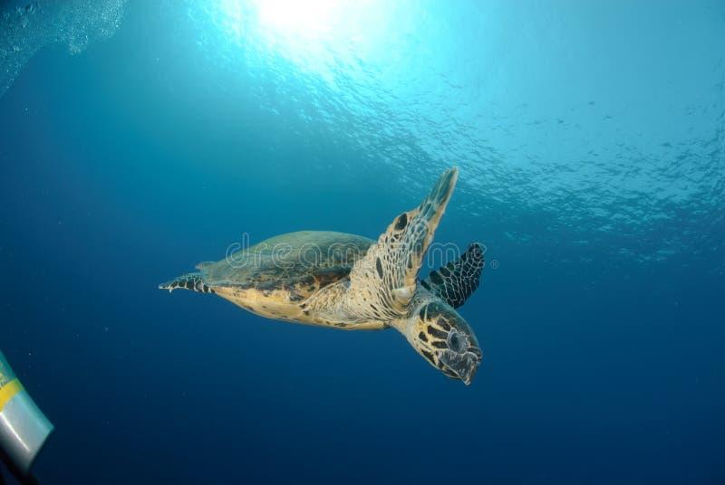 hawksbillhavssköldpadda royaltyfri foto