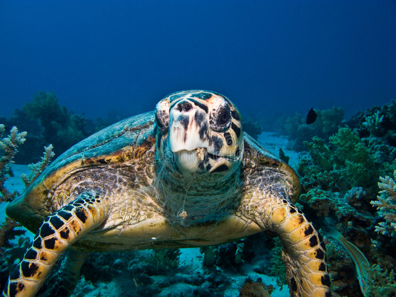 hawksbillhavssköldpadda fotografering för bildbyråer