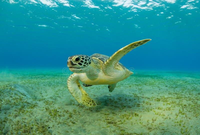 Hawksbillschildpad die overzees gras van zandige bodem eten stock afbeelding
