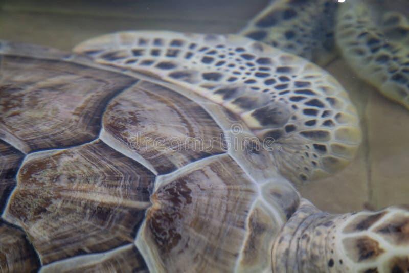 Hawksbillschildpad & x28; Eretmochelysimbricata stock foto's