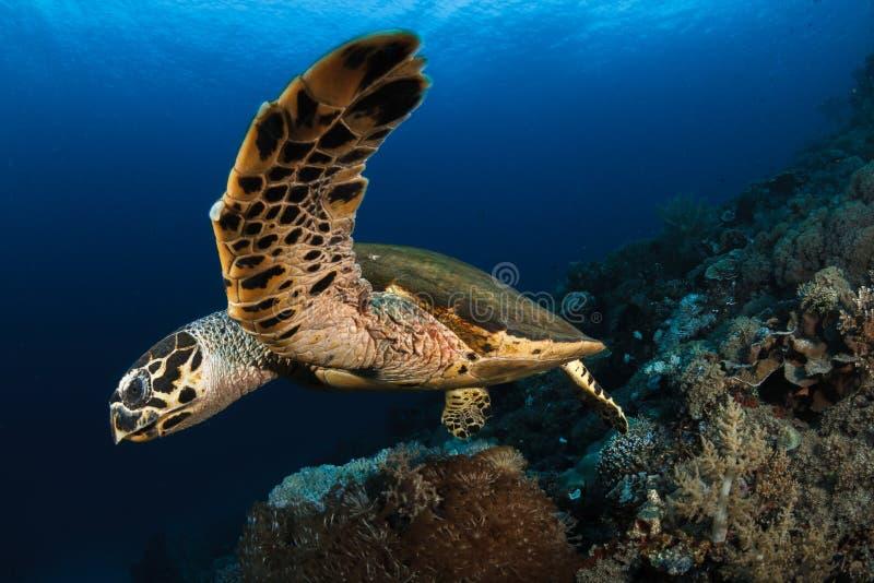 Hawksbillschildpad, Komodo royalty-vrije stock afbeeldingen