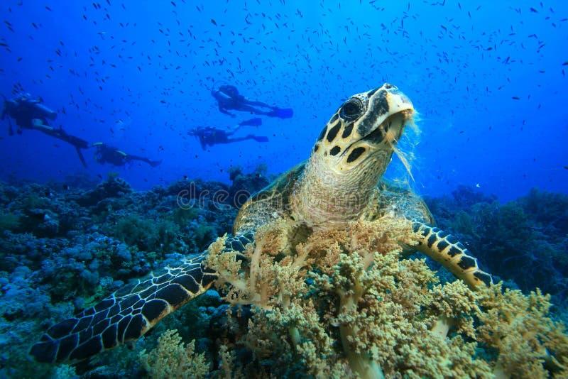 hawksbillsköldpadda arkivfoto