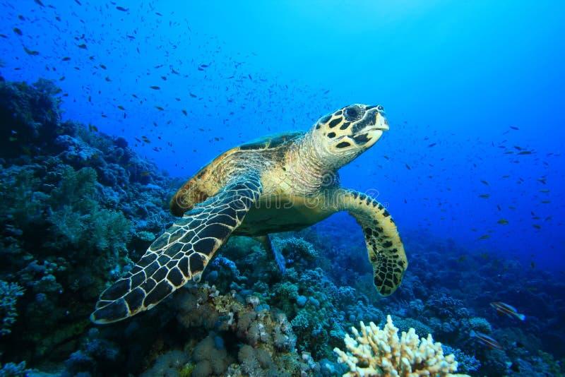 hawksbillsköldpadda royaltyfria foton