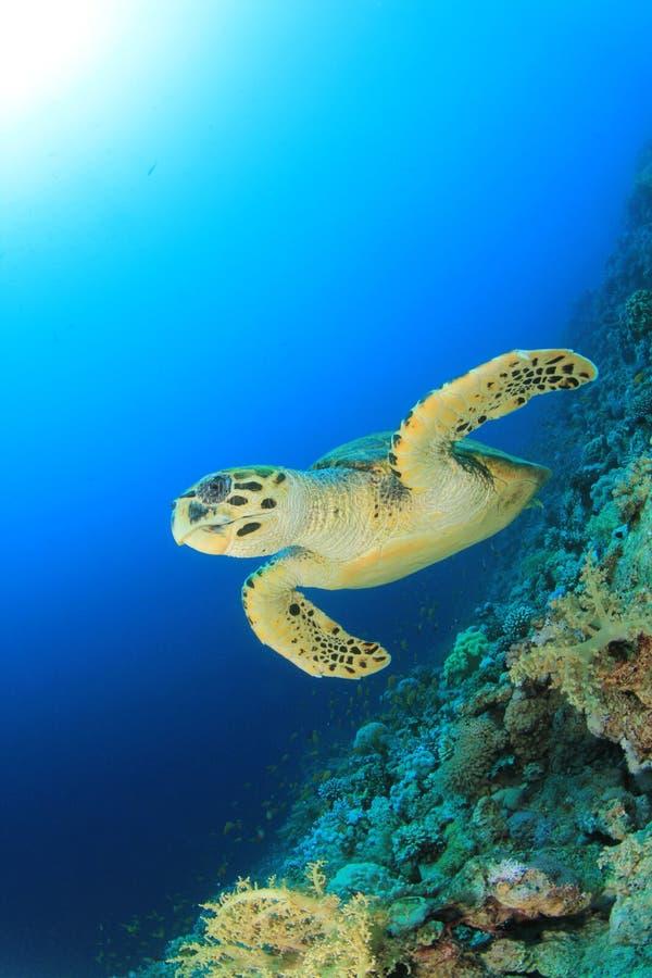 hawksbillsköldpadda royaltyfri fotografi