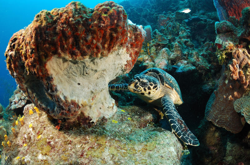 hawksbillsköldpadda arkivfoton