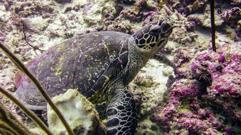 Hawksbillzeeschildpad in de Indische Oceaan - de Maldiven royalty-vrije stock foto's