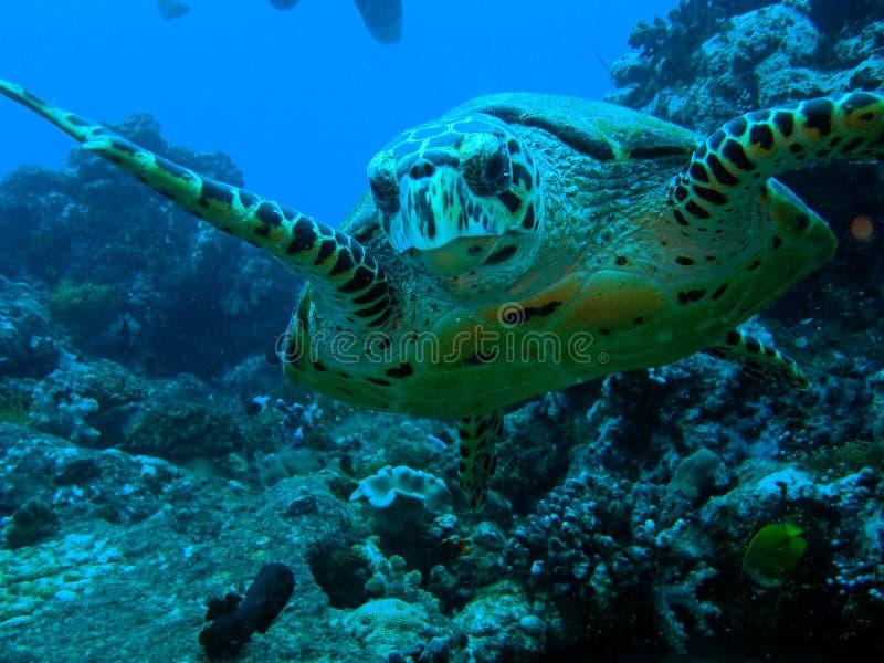 hawksbilsköldpadda royaltyfria foton