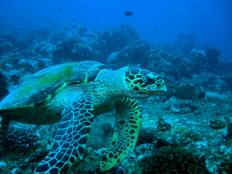 hawksbilsköldpadda royaltyfri foto