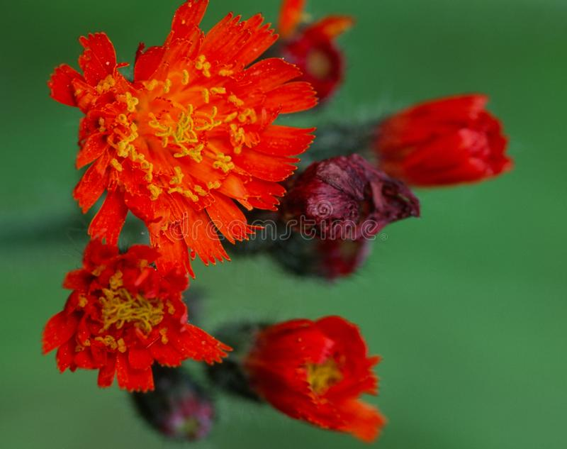 Hawkweed alaranjado brilhante que floresce no fim do verão imagens de stock royalty free