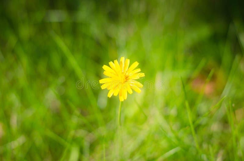 Hawkweed maskros, gult fält royaltyfri fotografi
