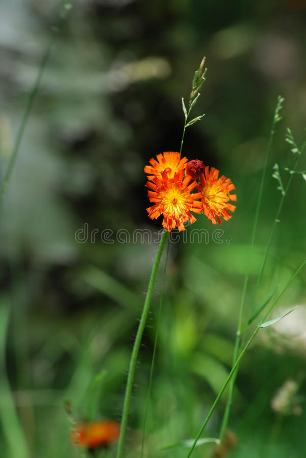 Hawkweed orange photo libre de droits