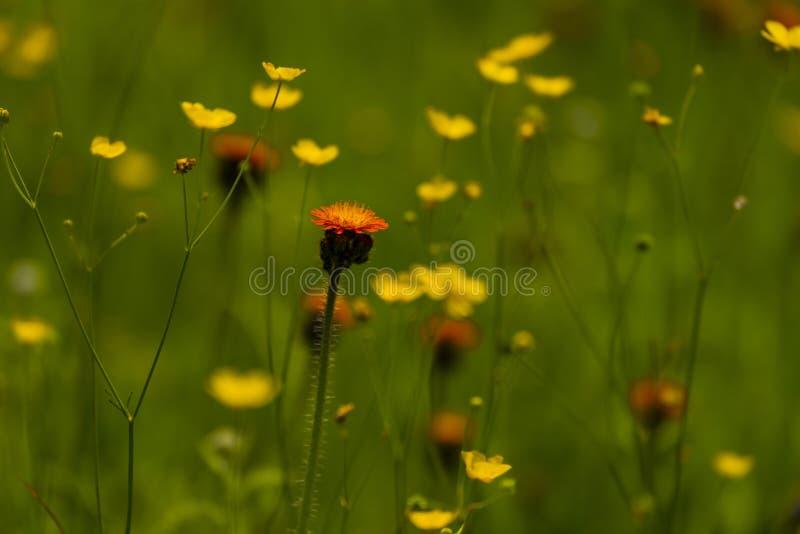 Hawkweed orange dans le Wisconsin du nord photos libres de droits
