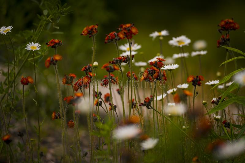 Hawkweed orange dans le Wisconsin du nord images libres de droits