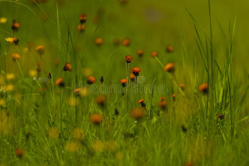 Hawkweed orange dans le Wisconsin du nord photo stock