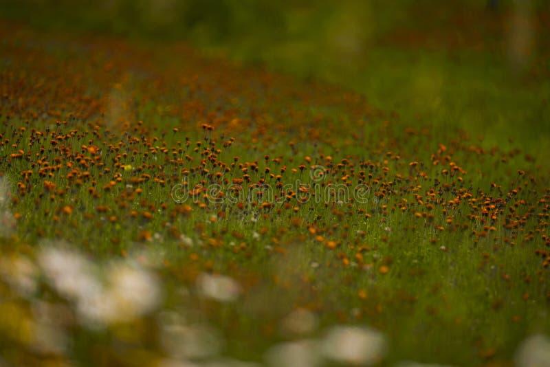 Hawkweed orange dans le Wisconsin du nord photographie stock libre de droits