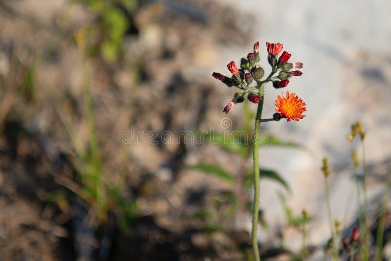 Hawkweedblommaväxt i sommar arkivfoton