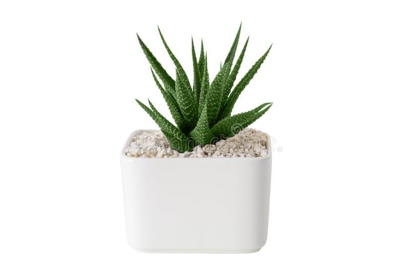 Haworthia多汁植物关闭在白色罐 查出在白色 库存图片