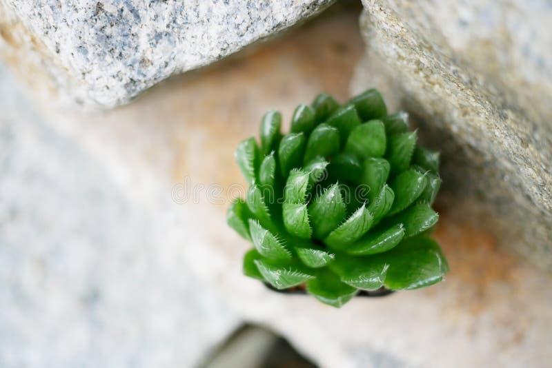 Haworthia Cooperi auf dem Felsen stockfotografie