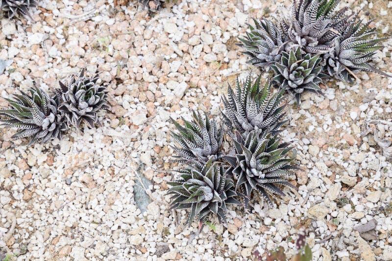 Haworthia fasciata cactus colony. Close up of haworthia fasciata cactus colony stock image