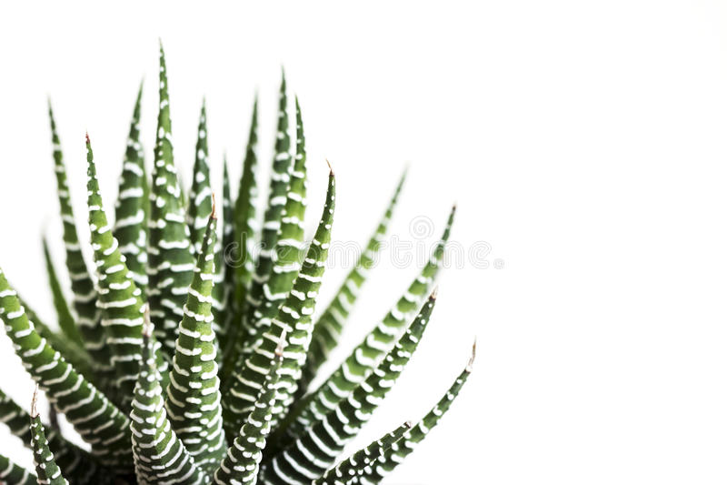 Haworthia fasciata cactus or Mah Lai isolated on white background. With copy space royalty free stock photo