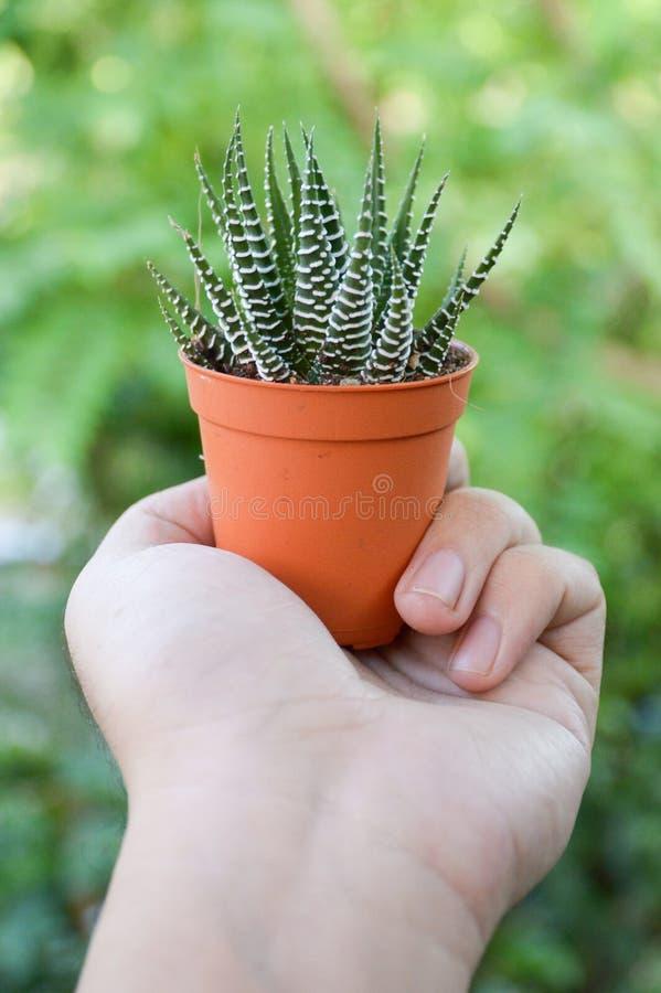 Haworthia fasciata cactus on man hand. Close up Haworthia fasciata cactus on man hand royalty free stock images
