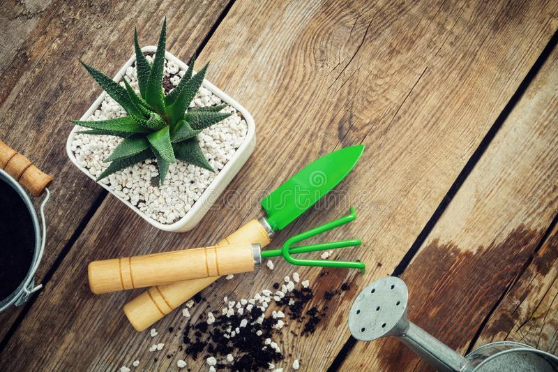Haworthia succulent in flower pot, mini garden tools, watering can and bucket on wooden table. Top view. Flat lay. Haworthia succulent in flower pot, mini stock photography