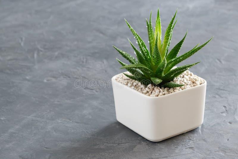 Haworthia succulent in pot op grijze concrete achtergrond royalty-vrije stock foto