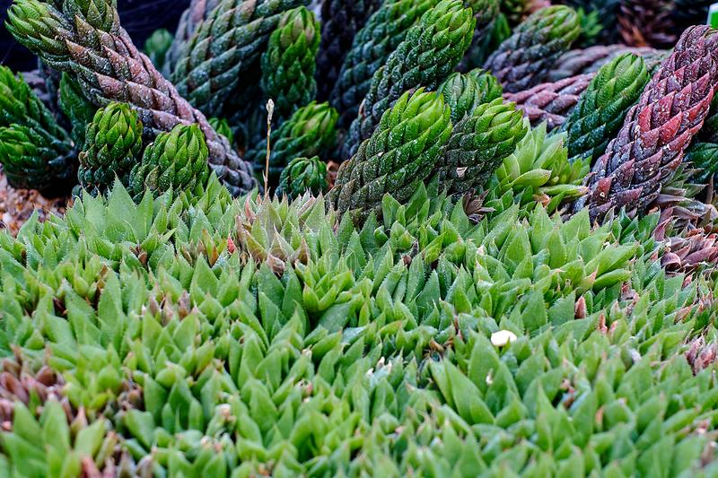 Haworthia tessellata cactus succulent plant leaf close up view on the rocky stone ground. Nice background texture.  royalty free stock images