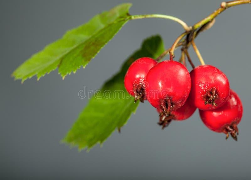 Download Haws fotografering för bildbyråer. Bild av rött, closeup - 27284039