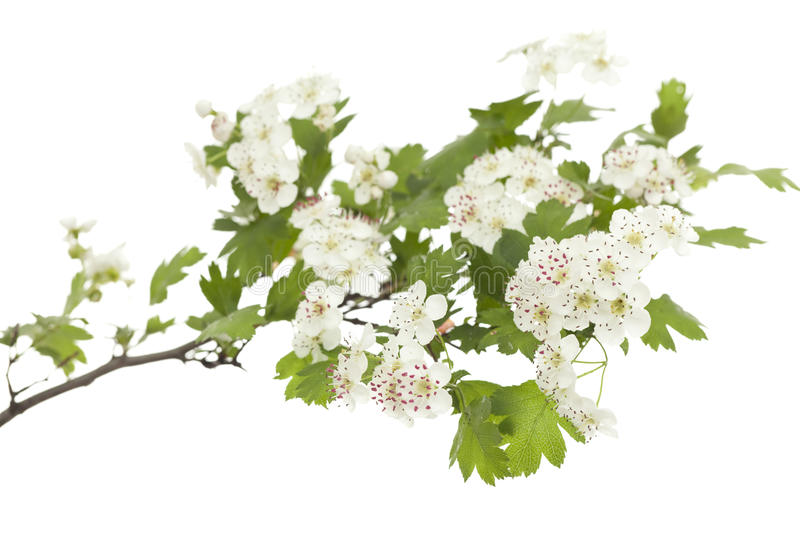 Hawthorn. Branch with flowers on white background stock photos