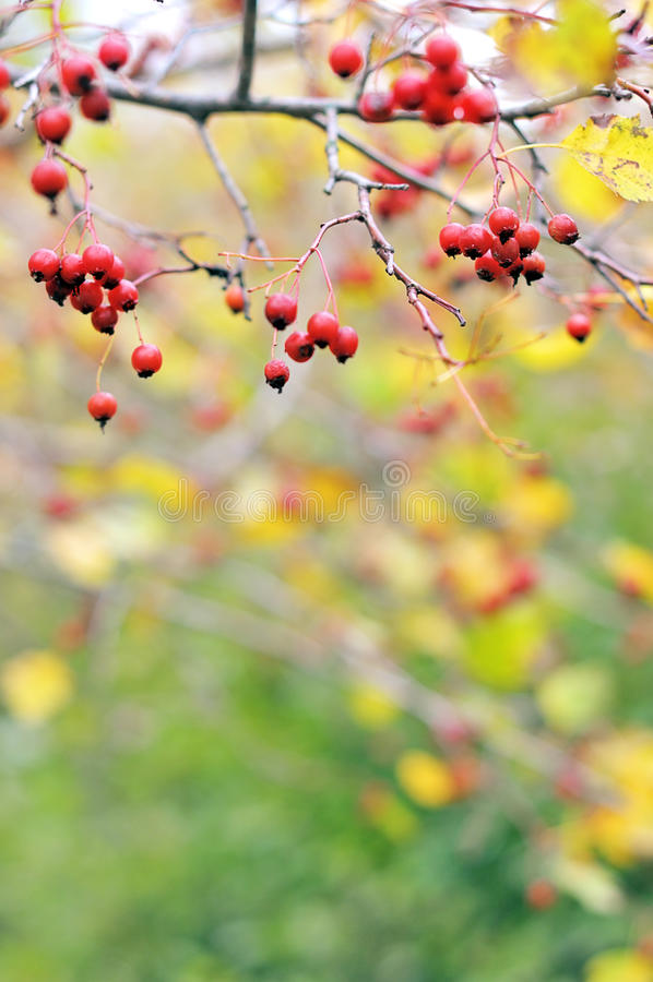 Download Hawthorn stock image. Image of chain, hawthorn, plant - 21526041