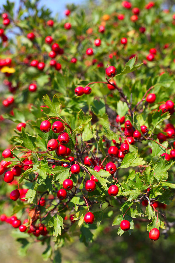 Hawthorn. Berry on the bush stock image