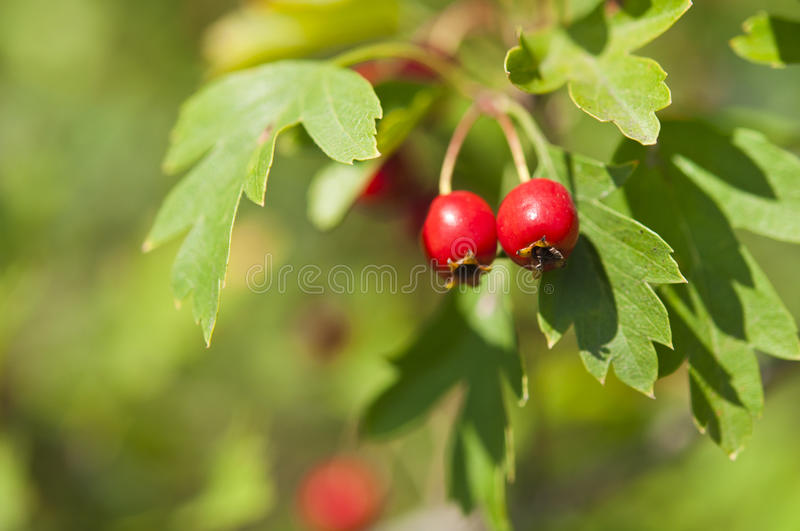 Hawthorn. Branch close to the red ripe berries royalty free stock photo