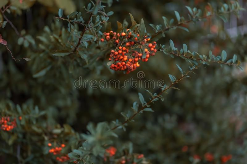 Hawthorn autumn berries. Decorative bush with red berries. Small red berries with green leaves. Copy space stock images