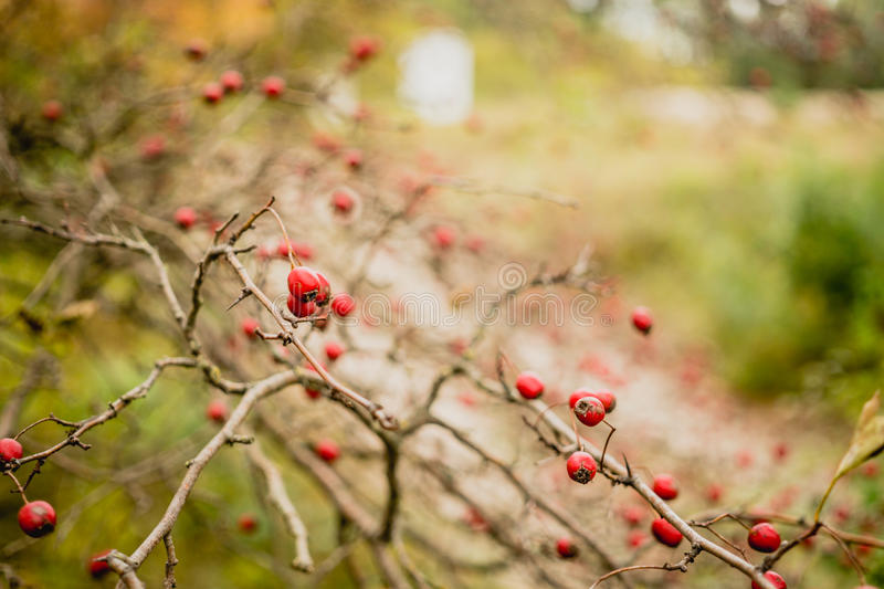 Hawthorn in autumn garden royalty free stock photos
