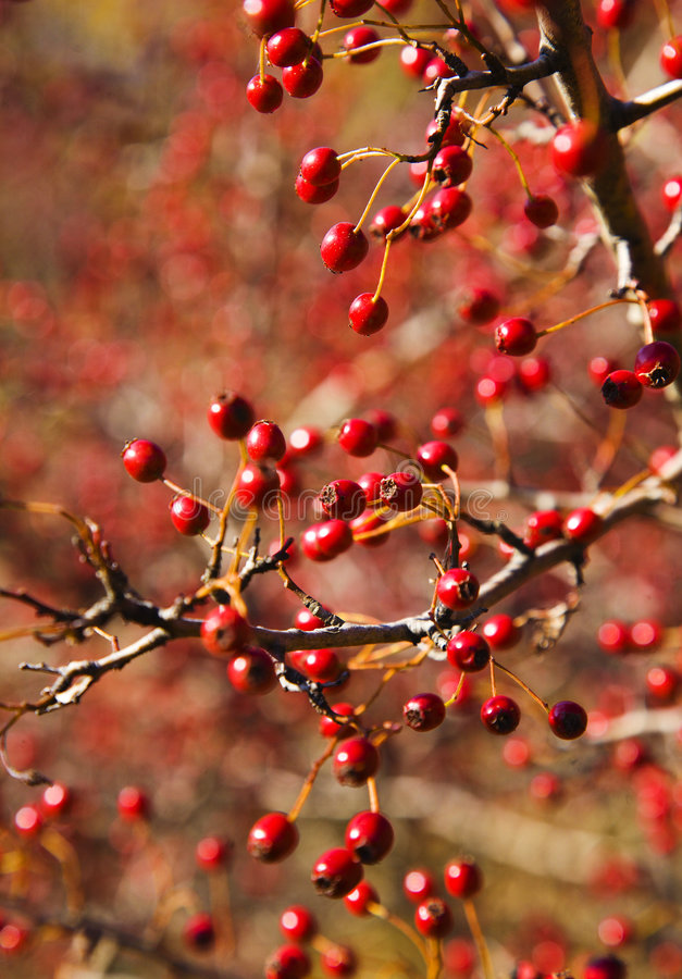 Hawthorn berries. Autumn hawthorn berries, Crataegus oxycantha, bright red, shallow DOF stock image