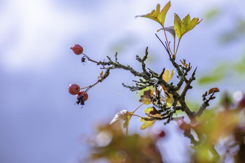 Hawthorn berries in autumn royalty free stock photo