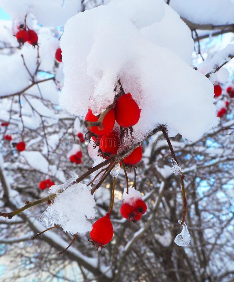 Hawthorn berries on the branches of the winter tree, covered with snow and ice. Close up royalty free stock photography