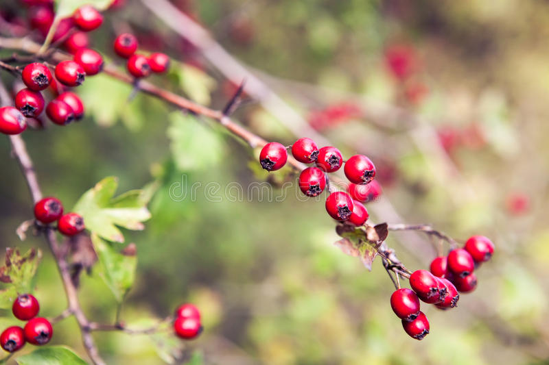 Hawthorn Berry royalty free stock image